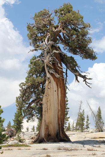 樹木シリーズ101 ヒマラヤスギ