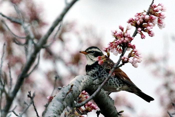 桜のつぼみとツグミ