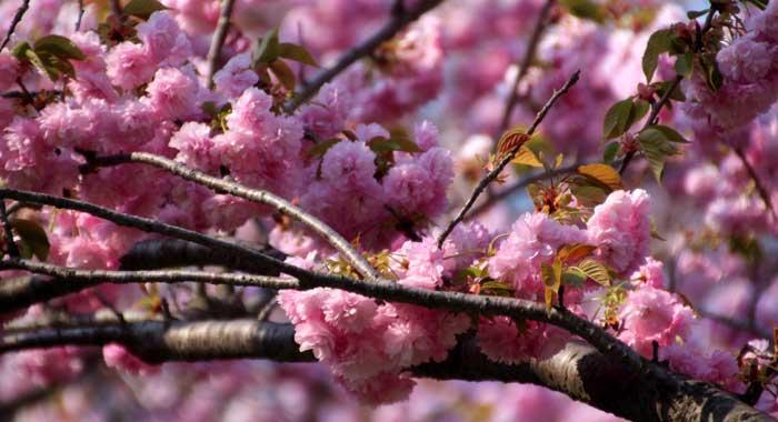 時代 別名 室町 桜