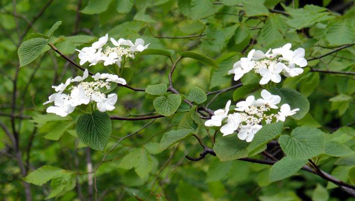 山野の花シリーズ⑭ オオカメノキ、ミズキ、ヤマボウシ | あきた森 ...